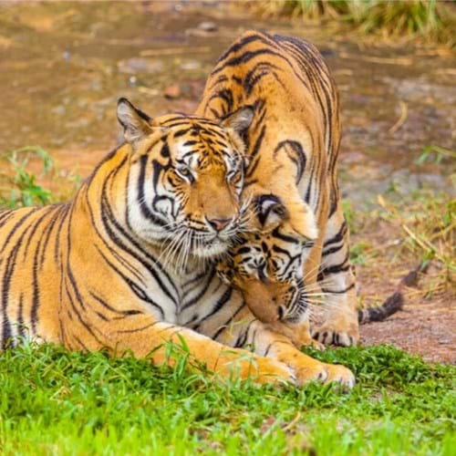 India's Golden Triangle including Ranthambore National Park